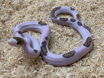 Picture of Jay's Pick Male Tiger Pied Reticulated Python