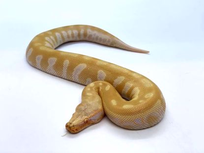 Picture of T-Negative Albino Male